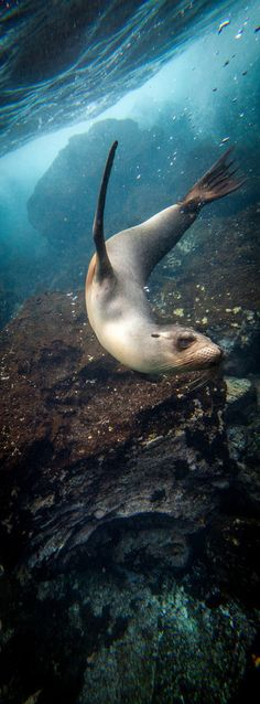 Galapagos Sea Lions  #underwater #outex #galapagos #sealion