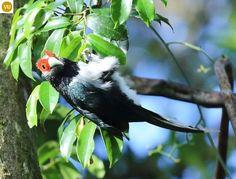 https://www.facebook.com/WonderBirds-171150349611448/timeline/?ref=hl Phướn Malkoha mặt đỏ; Họ Cu cu-Cuculidae; loài đặc hữu Sri Lanka | Red-faced malkoha (Phaenicophaeus pyrrhocephalus) IUCN Red List of Threatened Species 3.1 : Vulnerable (VU)(Loài sắp nguy cấp)