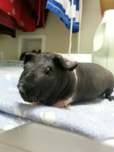 Meet The Latest Designer Pet A Hairless Guinea Pig Skinny Pig - Ludwig the bald guinea pig is winning the internets hearts