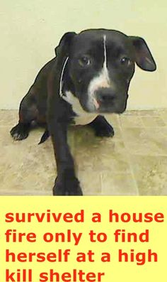 Manhattan Center EBONI - A1031522 FEMALE, BLACK / WHITE, PIT BULL MIX, 5 mos STRAY - ONHOLDHERE, HOLD FOR DISASTER Reason FIRE Intake condition UNSPECIFIE Intake Date 03/28/2015 https://www.facebook.com/Urgentdeathrowdogs/photos/pb.152876678058553.-2207520000.1427659865./984446771568202/?type=3&theater