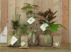 Saplings in burlap, add lace and purple ribbon, decoration/gift for Guests Gift table