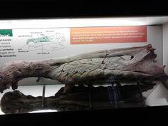 Resti di Spinosaurus Museo di storia naturale Milano