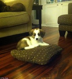 A puppy who was not allowed on the sofa chose instead to use one of it's cushions as a bed...
