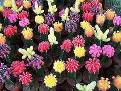 Em Abril, cactus mil.