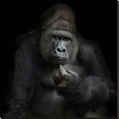Global Gallery 'Ego Cogito, Ergo Sum' by Antje Wenner-Braun Photographic Print on Wrapped Canvas Size: Cogito Ergo Sum, Primates, Poster Online, Tier Fotos, Mundo Animal, Pigment Ink, Home Decor Wall Art, Stretched Canvas Prints, Animals