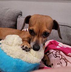 Weston, FL - Dachshund. Meet Susie a Pet for Adoption. Weston Florida, Rescue Dogs, Dachshund, Pet Adoption, Pets, Animals, Animales, Animaux, Weenie Dogs