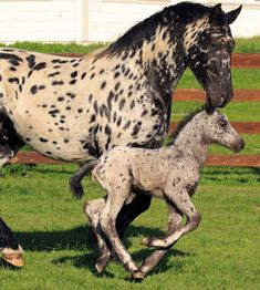 Stonewall Sporthorses: Minuet and Montezuma week old) Image credit: Tom Muehleisen Funny Horses, Cute Horses, Horse Love, Most Beautiful Horses, All The Pretty Horses, Animals Beautiful, Baby Horses, Wild Horses, Horse Photos