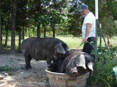 raising large black hogs