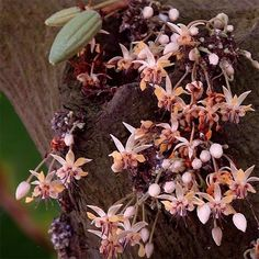 vwxeo the cocoa flower, cocoa (theobroma cacao) zone 10 hardiness zone. Cocoa, chocolate tree theobroma cacao f Chocolate Tree, Chocolate Wrapping, Cacao Chocolate, Growing Tree, Growing Flowers, Cocoa Plant, Make Your Own Chocolate, Colorful Fruit, Theobroma Cacao