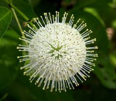 Cephalanthus 'Moonlight'....need to figure out where I can use a few of these!