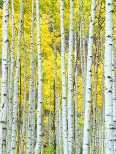 Aspen Grove, White River National Forest, Colorado, USA Photographic Print by Rob Tilley at Art.com