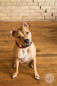 Meet Douglas, an adoptable American Staffordshire Terrier looking for a forever home. If you're looking for a new pet to adopt or want information on how to get involved with adoptable pets, Petfinder.com is a great resource.