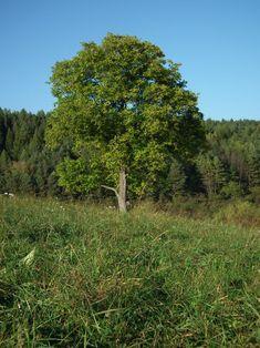 Breza: Vedľa nej rastú zle prakticky všetky stromy. Časom začínajú mať choroby achradnú. Smrek: Tiež sa pri ňom nedarí mnohým kultúram, okrem ihličnatých avresovcovitých (čučoriedky, rododendrony, zemolez ainé). Jabloň: Je veľmi flexibilná, preto sa vedľa nej cítia dobre mnohé kultúry, čo nie je vždy prospešné pre jabloň. Ona sa cíti dobre, pokiaľ neďaleko od nej