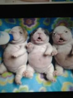 Aww three baby puppies
