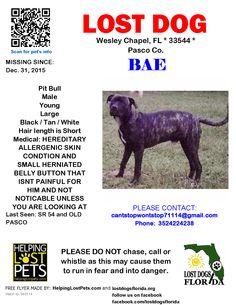 Lost Dog - Pit Bull - Wesley Chapel, FL, United States