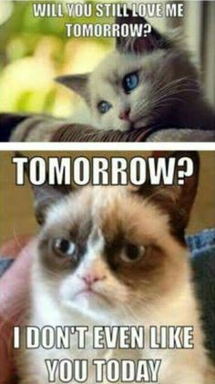 Grumpy Cat Memes That You Will Love! – Fallinpets Grumpy Cat Memes That You Will Love! Grumpy Cat Memes That You Will Love! Grumpy Cat Quotes, Funny Grumpy Cat Memes, Funny Animal Jokes, Cat Jokes, Stupid Funny Memes, Cute Funny Animals, Funny Cute, Angry Cat Memes, Funniest Animals