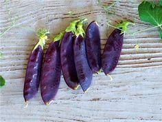 peas, desiree dwarf blauwschokkers | Baker Creek Heirloom Seed Co