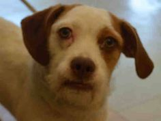 CHELSEY – A1036284 | Help us Save NYC AC&C Shelter Dogs