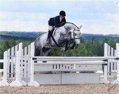 Hunter jumper horses.