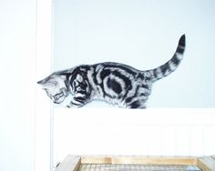 breeder of British shorthair black silver tabby and spotted kittens cats British Shorthair, Radiators, Cats And Kittens, Black Silver, Animals, Animales, Radiant Heaters, Animaux, Animal