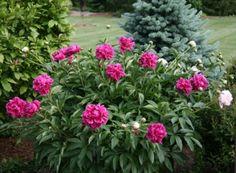"""Peonies (Spring-Planted) - """"Karl Rosenfeld"""""""