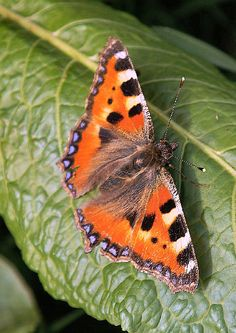 Orange Butterfly with Black and Purple Dots