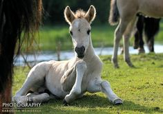 Konik Foal Their numbers are now doing well, and they are starting to gain in popularity.