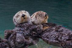 Sea Otter Duo