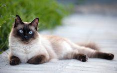 Télécharger fonds d'écran Siamois, les animaux, la rue, le chat domestique, mignon, animaux, chats, Chat Siamois