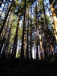 Árvores em North Vancouver. Lindo.