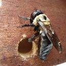 How to make a carpenter bee trap with instructions.