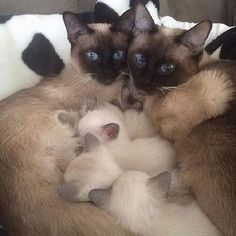 "Now,this is MY kind of Siamese.Call them ""apple-headed"" if you must,but to me they are beautiful! Such sweet little baby kitties!"