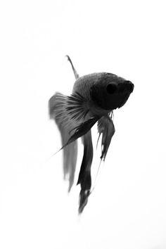 Betta Fish Fine Art Photography - Black Ink Impression