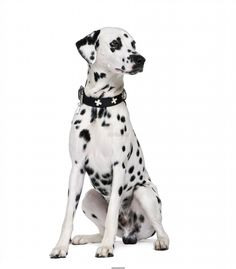 Poster of Dalmatian, 2 years old, sitting in front of white background, Dogs Posters, #poster, #printmeposter, #mousepad, #tshirt