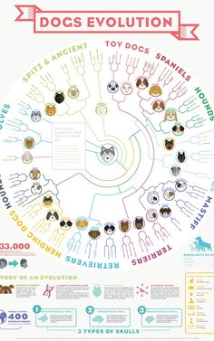 "More about ""skulls"" than ""floppy ears"" but still interesting... Infographic: How Dogs Evolved 