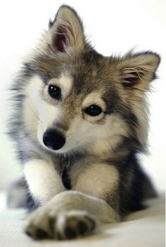 Pomsky // I just really want it!!