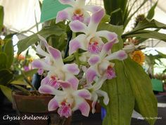 Orchid: Chysis chelsonii