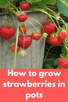 Growing strawberries in pots has become a common practice to many gardeners due to the advantages attached to it. First and foremost it's more convenience since you are able to move your plants around Strawberry Plant Care, Strawberry Planters, Strawberry Garden, Fruit Plants, Fruit Garden, Fruit Trees, Strawberry Companion Plants, Potted Plants, Gardens