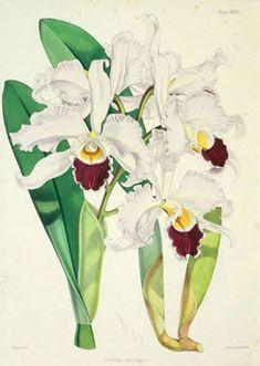 - Walter Hood Fitch -  Cattleya exoniensis