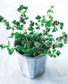 Studies show oregano can help kill the fungus that cause yeast infections. Top Antibacterial Herbs and Food for Preventing Infection