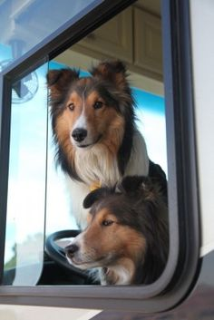 Shelties are the bestest woofers ever, in my most humble and learn-ed opinion...Cuddly and love-y little control freaks, silly as all get-out, smart and airheaded at the same time, always ready to play or nap as the occasion demands...I'm so thankful for the Shelties in my life.