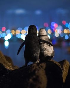 pleasingpics: Two widowed penguins comforting each other while. pleasingpics: Two widowed penguins comforting each other while gazing at the Melbourne skyline. Melbourne Skyline, Foto E Video, Photo And Video, Veuve, Touching Stories, Cute Penguins, Tier Fotos, Wildlife Nature, Twinkle Lights