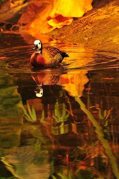 Autumn Duck Reflection (Juan Rubiano)