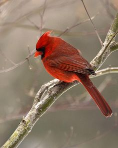 Beautiful photo of a  male Cardinal.