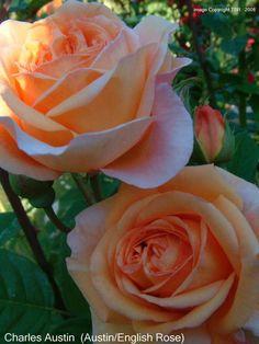 Charles Austin - David Austin English Roses - Old Garden Roses - Rose Catalog - Tasman Bay Roses - Buy Roses Online in New Zealand