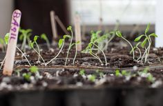 Starting seeds indoors | Simple Bites #tip #gardening