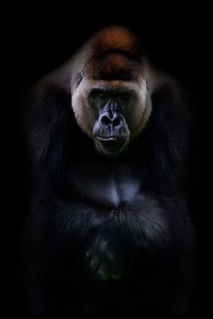 What a beautiful gorilla..love it!