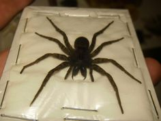 Wolf Spider - Spider Bites, Info, and Identification Common Spiders, Types Of Spiders, Spiders And Snakes, Keep Spiders Away, Get Rid Of Spiders, Killing Spiders, Spider Traps, Hobo Spider, Spider Identification