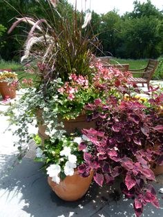 container garden, coleus, purple fountain grass
