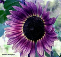 Beautiful purple sunflower.. I want this one for my summer garden!